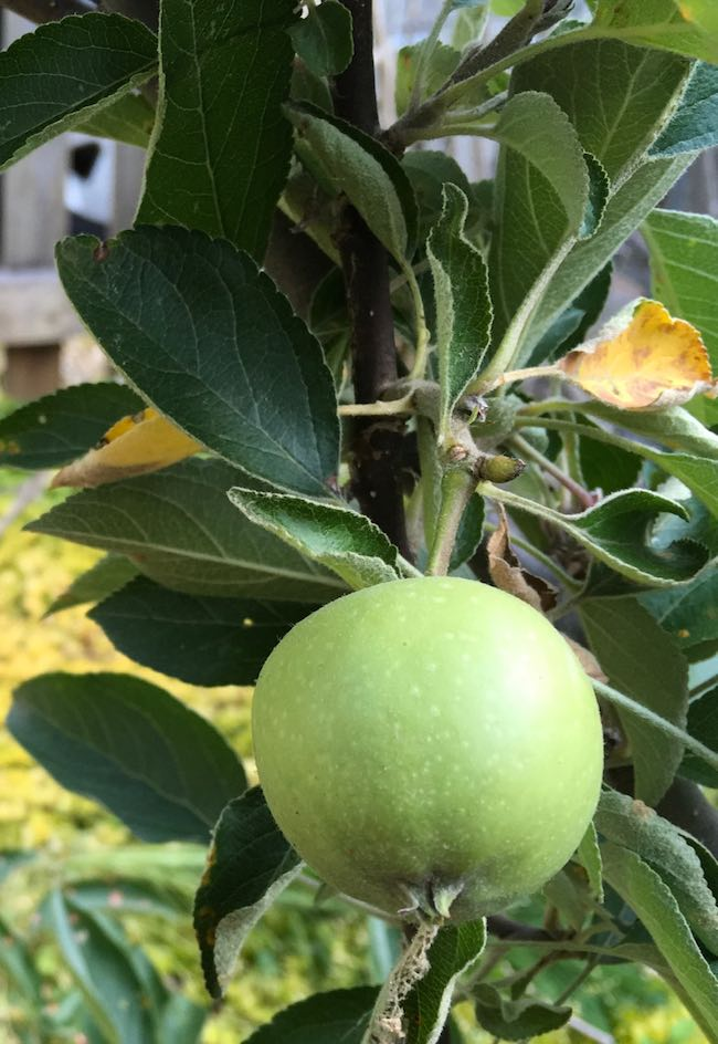 My first apple on fruit tree