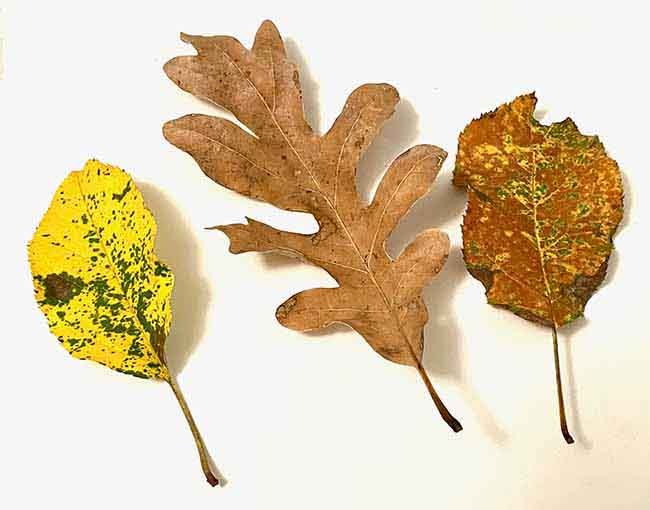 color variation in real leaves